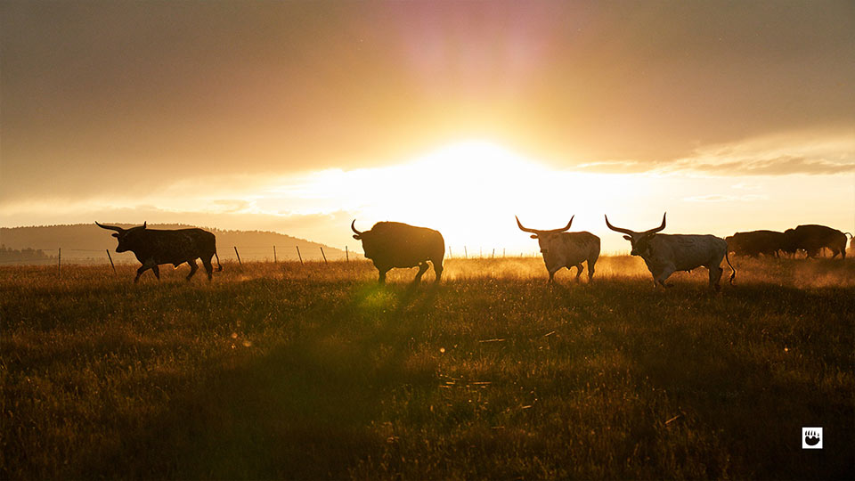 Sunset with grazing cattle